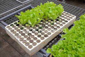 рассада салата выращивание