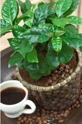 Полезные, лечебные свойства кофейного дерева